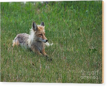 Relaxing Red Fox Wood Print by Robert Bales