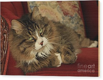 Rescue Cat Living In The Lap Of Luxury Wood Print by Inspired Nature Photography Fine Art Photography
