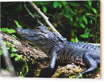 Resting Alligator  Wood Print