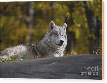 Wood Print featuring the photograph Resting Arctic Wolf On Rocks by Wolves Only