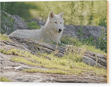 Wood Print featuring the photograph Resting Arctic Wolf by Wolves Only