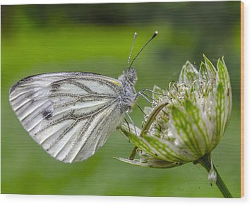 Resting Butterfly Wood Print by Adam Budziarek