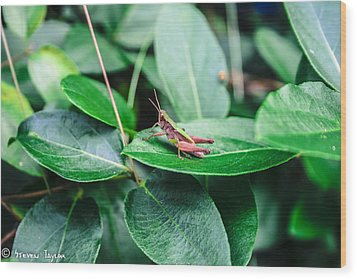 Resting Cricket Wood Print by Steven  Taylor