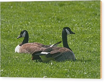 Resting Geese Wood Print by John Holloway