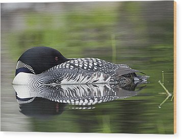 Resting Loon Wood Print by John Vose