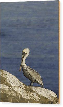 Resting Pelican Wood Print by Sebastian Musial