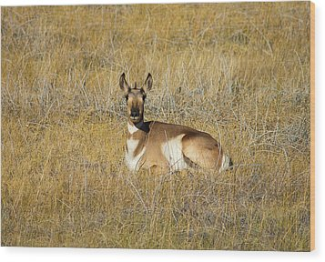 Resting Pronghorn Wood Print by Sarah Crites