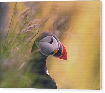Resting Puffin Wood Print