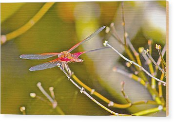 Wood Print featuring the photograph Resting Red Dragonfly by Cyril Maza