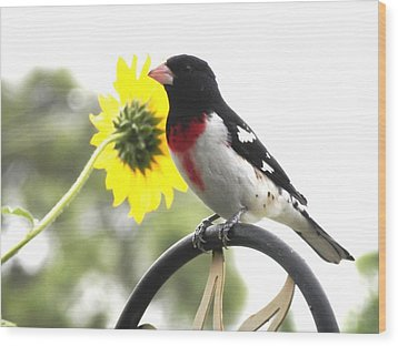Resting Rose Breasted Grosbeak Wood Print by Belinda Lee