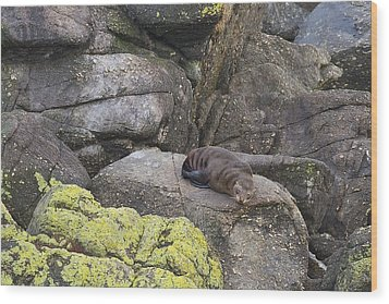Wood Print featuring the photograph Resting Seal by Stuart Litoff