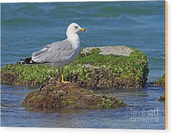 Ring-billed Gull Wood Print by Jennifer Zelik