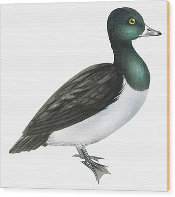 Ring-necked Duck  Wood Print by Anonymous