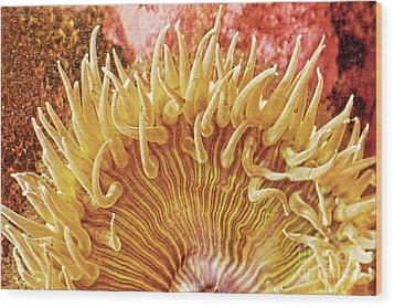 Rise And Shine Sea Anemone- Pictures Of Sea Creatures - Sea Anenome  Wood Print by Artist and Photographer Laura Wrede
