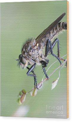 Robber Fly Asilinae Close Up Wood Print