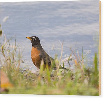 Wood Print featuring the photograph Robin Viewing Surroundings by John M Bailey