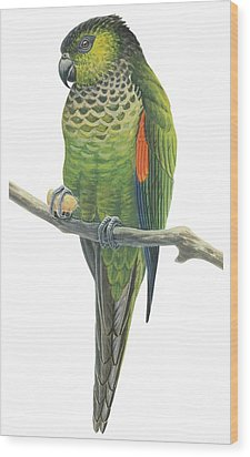 Rock Parakeet Wood Print by Anonymous