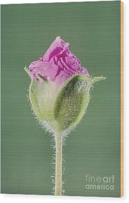 Rockrose Flowerbud Wood Print by Claude Nuridsany and Marie Perennou