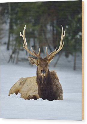 Rocky Mountain Elk Wood Print