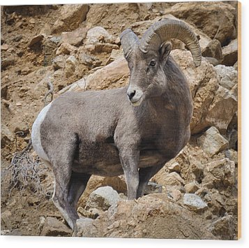 Wood Print featuring the photograph Rocky Ram by Kevin Munro