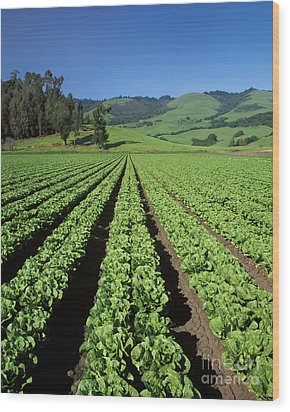 Romaine Lettuce Field Wood Print by Craig Lovell