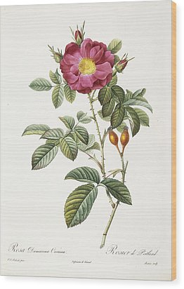 Rosa Damascena Coccina Wood Print by Pierre Joseph Redoute