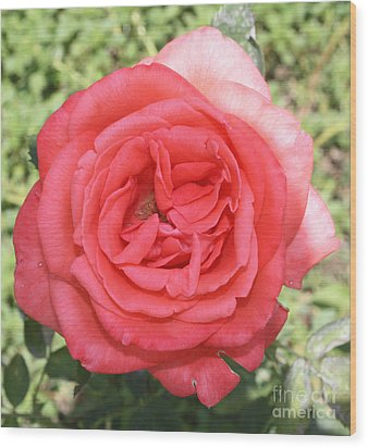 Rose At Clark Gardens Wood Print by John Telfer
