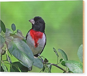 Rose Breasted Grosbeak Wood Print by Rodney Campbell