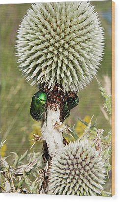 Rose Chafers And Ants On Thistle Flowers Wood Print by Bob Gibbons