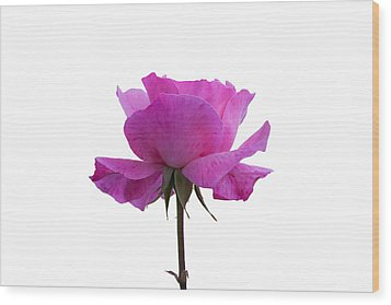Rose Over White Background Wood Print