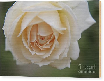 Rose... Pure And Simple  Wood Print
