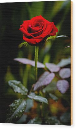 Rose Singapore Flower Wood Print by Donald Chen