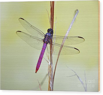 Roseate Skimmer Dragonfly Wood Print
