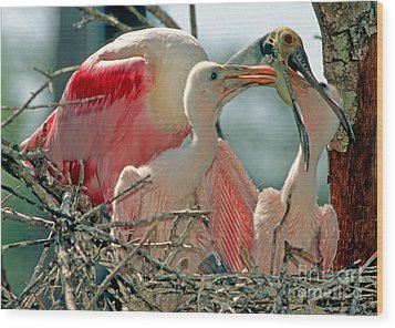 Roseate Spoonbill Feeding Young At Nest Wood Print by Millard H. Sharp