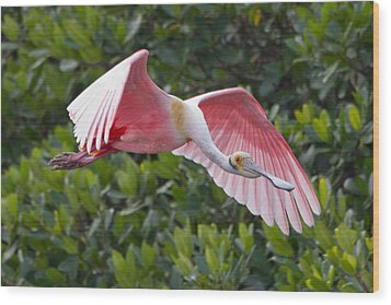 Roseate Spoonbill Flyer Wood Print by Phil Stone