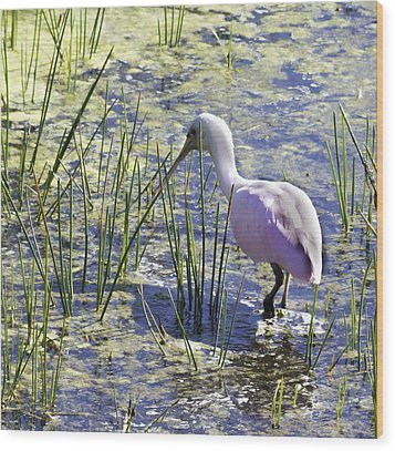 Roseate Spoonbill IIi Wood Print by Susan Molnar