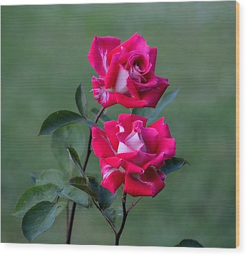 Roses Are... Wood Print by Kathy King