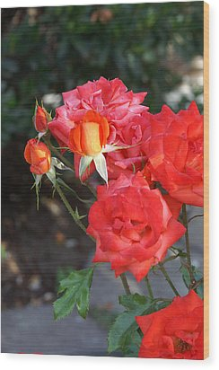 Roses- Rosey- All Red-almost Wood Print by Thomas D McManus