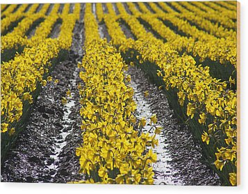 Rows Of Daffodils Wood Print