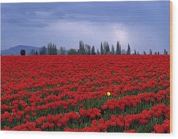 Rows Of Red Tulips With One Yellow Tulip  Wood Print by Jim Corwin