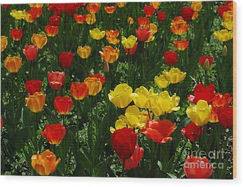 Rows Of Tulips Wood Print by Kathleen Struckle