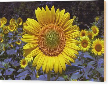 Wood Print featuring the photograph Roxanna Sunflower by Bill Swartwout