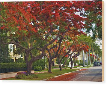Royal Poinciana Trees In Blooming In South Florida Wood Print