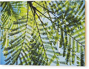 Royal Poinciana Tree Wood Print by Charmian Vistaunet