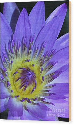 Royal Purple Water Lily #11 Wood Print