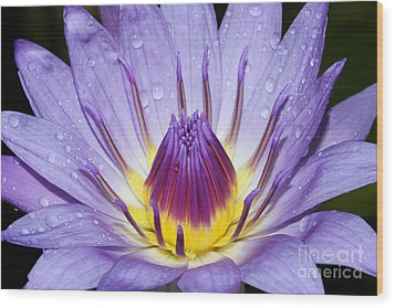 Royal Purple Water Lily #3 Wood Print