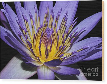 Royal Purple Water Lily #5 Wood Print by Judy Whitton