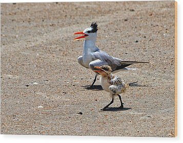 Royal Tern With Chick Wood Print