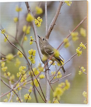 Wood Print featuring the photograph Ruby-crowned Kinglet by Kerri Farley