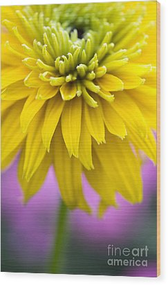 Rudbeckia Cherokee Sunset Flower Wood Print by Tim Gainey